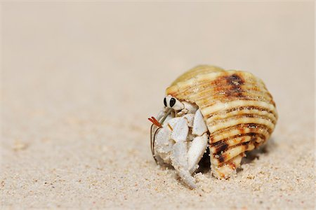 seychelles - Hermit Crab (Anomura) on Sand of Beach, La Digue, Seychelles Stock Photo - Premium Royalty-Free, Code: 600-07453841