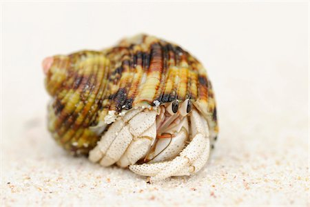 seychelles - Hermit Crab (Anomura) on Sand at Beach, La Digue, Seychelles Stock Photo - Premium Royalty-Free, Code: 600-07453859