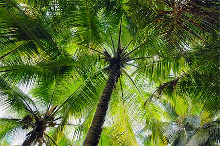 Looking up at Palm Trees, Mahe, Seychelles Stock Photo - Premium Royalty-Free, Code: 600-07453867