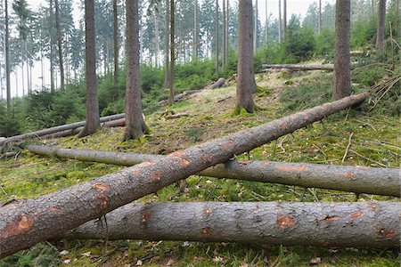 Felled spruces in forest, Spessart, Hesse, Germany, Europe Stock Photo - Premium Royalty-Free, Code: 600-07487434