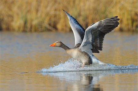 Greylag goose (Anser anser) landing on lake, Hesse, Germany, Europe Stock Photo - Premium Royalty-Free, Code: 600-07487456