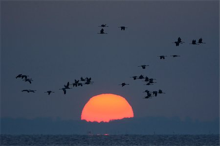 Common Cranes (Grus grus) Flying in Formation at Sunrise, Zingst, Barther Bodden, Darss, Fischland-Darss-Zingst, Mecklenburg-Vorpommern, Germany Stock Photo - Premium Royalty-Free, Code: 600-07487476