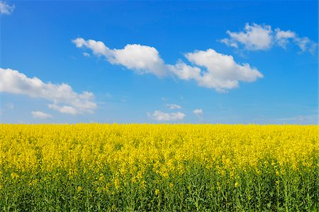 sky - Blooming Canola Field, Bad Mergentheim, Baden-Wurttemberg, Germany Stock Photo - Premium Royalty-Free, Code: 600-07519306