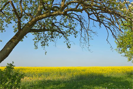 Fruit Tree and Canola Field, Bad Mergentheim, Baden-Wurttemberg, Germany Stock Photo - Premium Royalty-Free, Code: 600-07519301