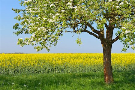 Blooming Fruit Tree and Canola Field, Bad Mergentheim, Baden-Wurttemberg, Germany Stock Photo - Premium Royalty-Free, Code: 600-07519302