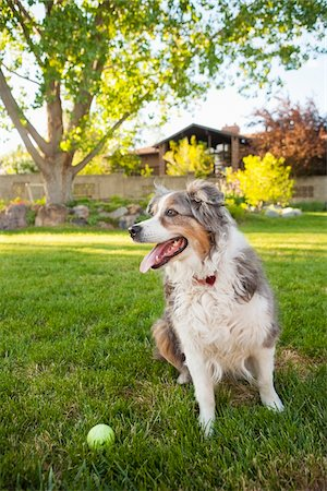Australian Shepherd Dog in Backyard with Tennis Ball, Utah, USA Stock Photo - Premium Royalty-Free, Code: 600-07529206