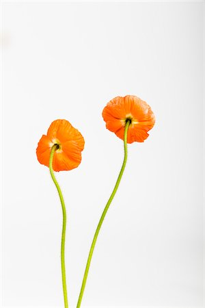 flowers - Back of Iceland Poppies (Papaver nudicaule) on White Background Stock Photo - Premium Royalty-Free, Code: 600-07541357
