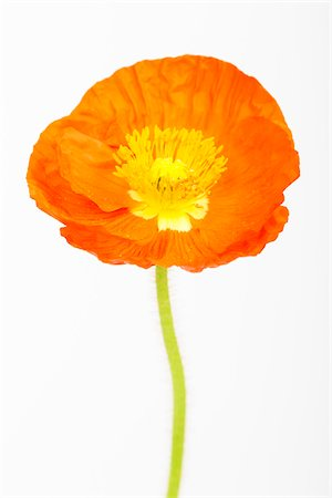 flowers - Close-up of Iceland Poppy (Papaver nudicaule) on White Background Stock Photo - Premium Royalty-Free, Code: 600-07541352