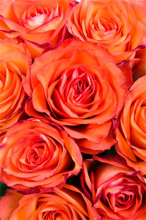picture - Close-up of Red Roses, Studio Shot Stock Photo - Premium Royalty-Free, Code: 600-07541364