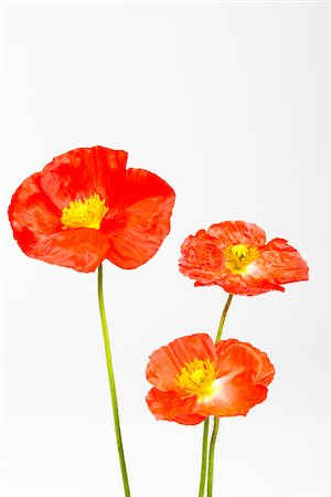 flowers - Iceland Poppies (Papaver nudicaule) on White Background Stock Photo - Premium Royalty-Free, Code: 600-07541361