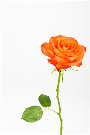 Single Rose on White Background Stock Photo - Premium Royalty-Free, Code: 600-07541379
