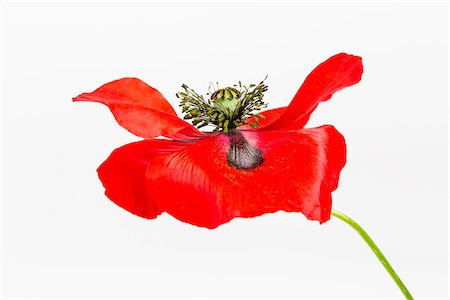 stamen - Red Field Poppy (Papaver rhoeas) on White Background Stock Photo - Premium Royalty-Free, Code: 600-07541397