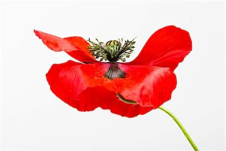 stamen - Red Field Poppy (Papaver rhoeas) on White Background Stock Photo - Premium Royalty-Free, Code: 600-07541399