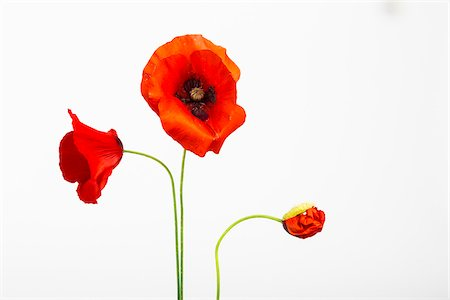 Red Field Poppies (Papaver rhoeas) on White Background Stock Photo - Premium Royalty-Free, Code: 600-07541391