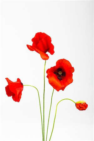 flowers - Red Field Poppies (Papaver rhoeas) on White Background Stock Photo - Premium Royalty-Free, Code: 600-07541392