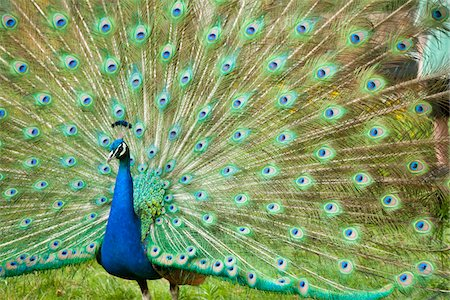 Indian Peacock Displaying Plumage Stockbilder - Premium RF Lizenzfrei, Bildnummer: 600-07541426