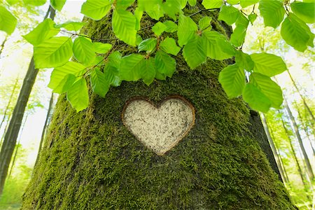Heart Carved in European Beech (Fagus sylvatica) Tree Trunk, Odenwald, Hesse, Germany Stock Photo - Premium Royalty-Free, Code: 600-07561339