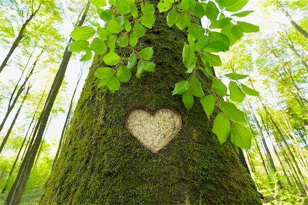 symbol - Heart Carved in European Beech (Fagus sylvatica) Tree Trunk, Odenwald, Hesse, Germany Stock Photo - Premium Royalty-Free, Code: 600-07562375