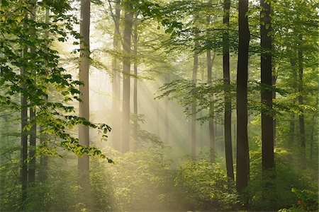 forest - Sunbeams in European Beech (Fagus sylvatica) Forest, Spessart, Bavaria, Germany Stock Photo - Premium Royalty-Free, Code: 600-07562498