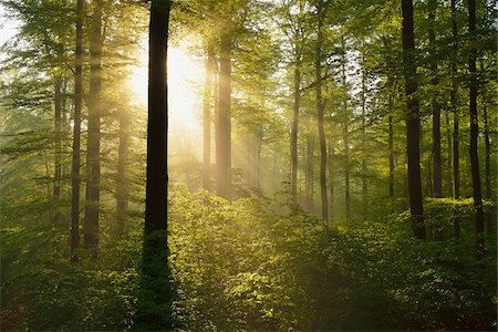 forest - Sunbeams in European Beech (Fagus sylvatica) Forest, Spessart, Bavaria, Germany Stock Photo - Premium Royalty-Free, Code: 600-07562499