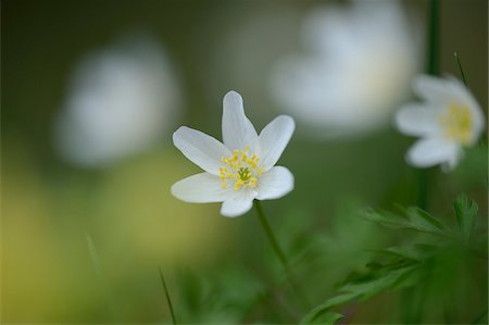 flowering - Close-up of windflower (Anemone nemorosa) blossoms in a meadow in spring, Bavaria, Germany Stock Photo - Premium Royalty-Free, Code: 600-07599768