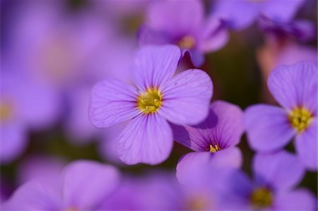 Close-up of lilacbush (Aubrieta deltoidea) blossoms in a garden in spring, Bavaria, Germany Stock Photo - Premium Royalty-Free, Code: 600-07599772