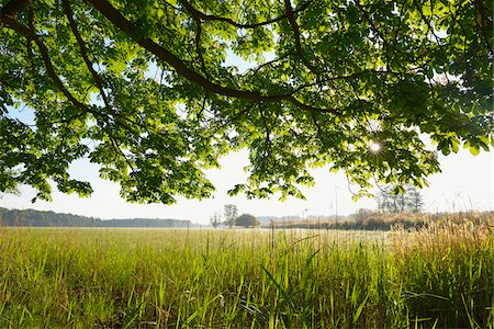 Branches of a chestnut tree and field, Nature Reserve Moenchbruch, Moerfelden-Walldorf, Hesse, Germany, Europe Stock Photo - Premium Royalty-Free, Code: 600-07599847
