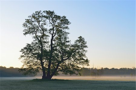 Tree (Black alder) at early morning, Nature Reserve Moenchbruch, Moerfelden-Walldorf, Hesse, Germany, Europe Stock Photo - Premium Royalty-Free, Code: 600-07599842
