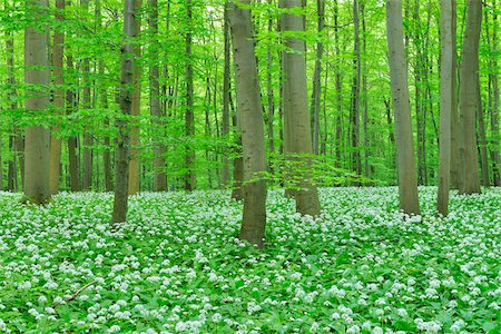 forest - European Beech Forest (Fagus sylvatica) with Ramson (Allium ursinum), Hainich National Park, Thuringia, Germany, Europe Stock Photo - Premium Royalty-Free, Code: 600-07599867