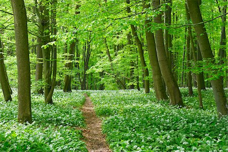 European Beech Forest (Fagus sylvatica) with Ramson (Allium ursinum), Hainich National Park, Thuringia, Germany, Europe Stock Photo - Premium Royalty-Free, Code: 600-07599872