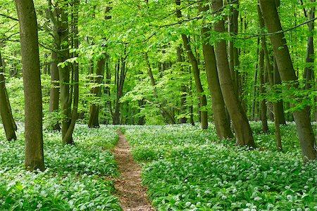 European Beech Forest (Fagus sylvatica) with Ramson (Allium ursinum), Hainich National Park, Thuringia, Germany, Europe Stock Photo - Premium Royalty-Free, Code: 600-07599872