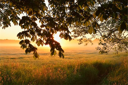 Chestnut tree branches and field at sunrise, Nature Reserve Moenchbruch, Moerfelden-Walldorf, Hesse, Germany, Europe Stock Photo - Premium Royalty-Free, Code: 600-07599906