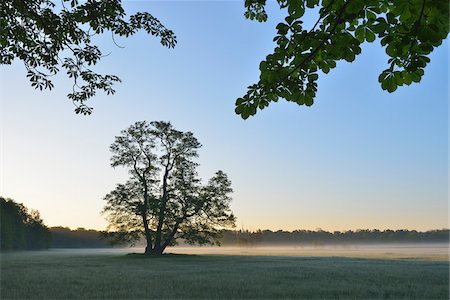 Tree (Black alder) in field in early morning, Nature Reserve Moenchbruch, Moerfelden-Walldorf, Hesse, Germany, Europe Stock Photo - Premium Royalty-Free, Code: 600-07599910