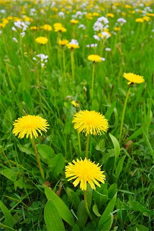 Close-up of Dandelion Meadow in Spring, Vogelsberg District, Hesse, Germany Stock Photo - Premium Royalty-Free, Code: 600-07599979