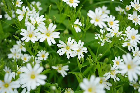Close-up of Chickweed Flower in Spring, Vogelsberg District, Hesse, Germany Stock Photo - Premium Royalty-Free, Code: 600-07599980