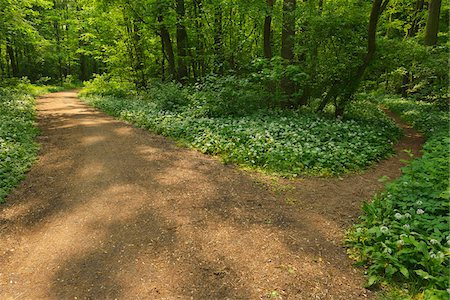 decision - Forked Path with Blooming Wild Garlic, Spring, Bulau, Erlensee, Hanau, Hesse, Germany Stock Photo - Premium Royalty-Free, Code: 600-07599982