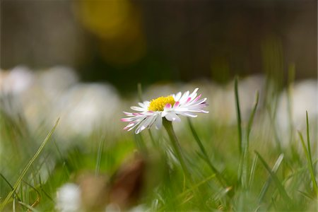 Close-up of common daisy (Bellis perennis) blooming in a meadow in spring, Bavaria, Germany Stock Photo - Premium Royalty-Free, Code: 600-07599994