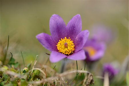 Close-up of a pasque flower (Pulsatilla vulgaris) blooming in a meadow in spring, Bavaria, Germany Stock Photo - Premium Royalty-Free, Code: 600-07599995