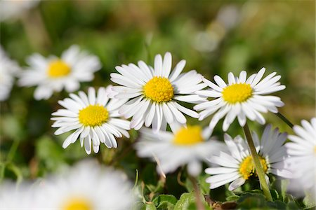 Close-up of common daisy (Bellis perennis) blooming in a meadow in spring, Bavaria, Germany Stock Photo - Premium Royalty-Free, Code: 600-07599993