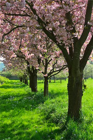 photography - Blooming Cherry Trees in Castle Park in Spring, Weikersheim, Baden-Wurttemberg, Germany Stock Photo - Premium Royalty-Free, Code: 600-07591273