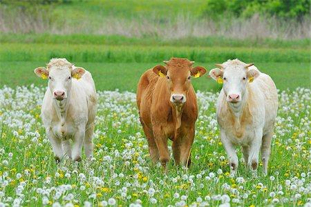 Cows in Meadow, Miltenberg, Bavaria, Germany, Europe Stock Photo - Premium Royalty-Free, Code: 600-07608284