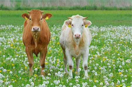 Cows in Meadow, Miltenberg, Bavaria, Germany, Europe Stock Photo - Premium Royalty-Free, Code: 600-07608285