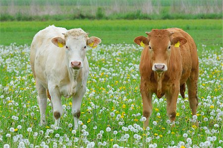 Cows in Meadow, Miltenberg, Bavaria, Germany, Europe Stock Photo - Premium Royalty-Free, Code: 600-07608286