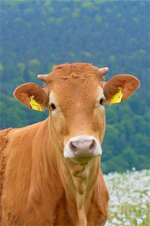 Close-up Portrait of Cow, Miltenberg, Bavaria, Germany, Europe Stock Photo - Premium Royalty-Free, Code: 600-07608288