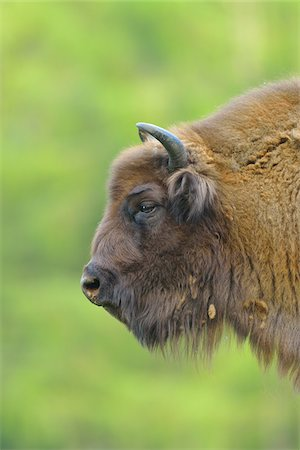 Close-up Portrait of European Bison (Bison bonasus), Hesse, Germany, Europe Stock Photo - Premium Royalty-Free, Code: 600-07608296