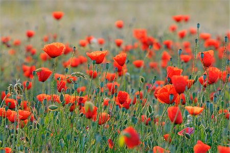 Field with Red Poppies (Papaver rhoeas), Pfungstadt, Hesse, Germany, Europe Stock Photo - Premium Royalty-Free, Code: 600-07608304