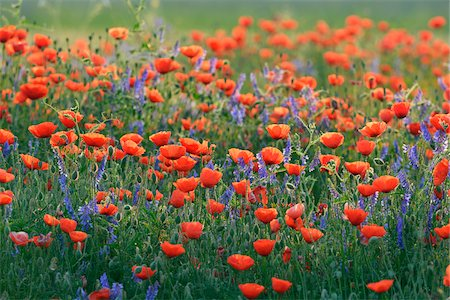 Field with Red Poppies (Papaver rhoeas), Pfungstadt, Hesse, Germany, Europe Stock Photo - Premium Royalty-Free, Code: 600-07608307