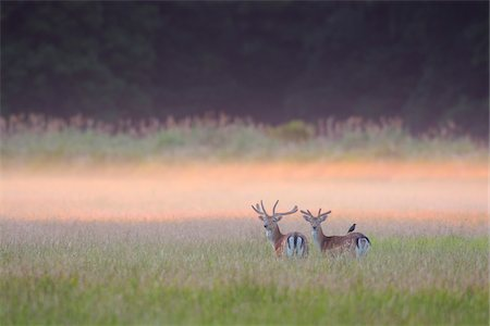 Fallow Deers (Cervus dama) in field in Summer, Hesse, Germany, Europe Stock Photo - Premium Royalty-Free, Code: 600-07608311