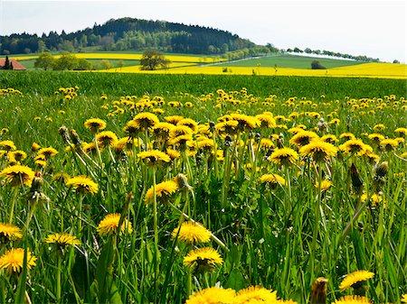 Close-up of Dandelions in field, Weser Hills, North Rhine-Westphalia, Germany Stock Photo - Premium Royalty-Free, Code: 600-07608339