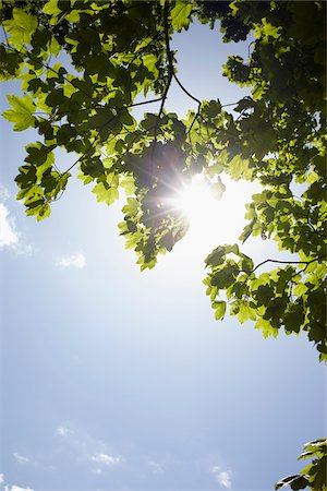 Low angle view of tree branches and blue sky with sun, Germany Stock Photo - Premium Royalty-Free, Code: 600-07600015